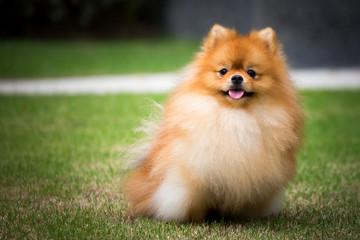 THe cute pomeranian dog and outdoor garden