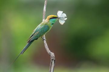 Green Bee-eater Feeding Butterfly, Chennai, Tamil Nadu, India