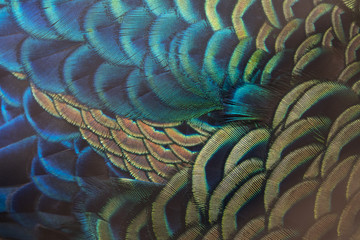 Photo sur Toile Paon Beautiful peacock feathers (Green peafowl)