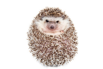 Hedgehog isolated on the White Background