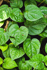 Group Green betel leaf in the garden
