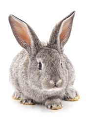 One gray rabbit.
