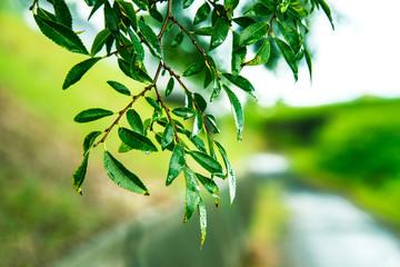 夏雨・緑の葉に水滴