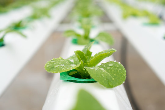 Organic hydroponic vegetable cultivation farm with. Selective focus.