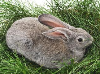 Young rabbit and green grass.