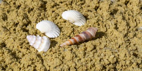 Muschel im Sand Panorama