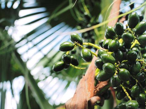 greenery raw palm fruit