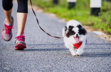 pomeranian dog running exercise on the street park in the morning.