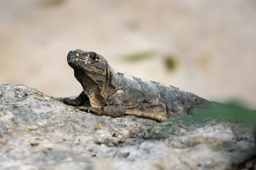 Amazing gray iguana sitting on a rock