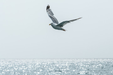 Seagull in the sky. Seagull flying over sea.