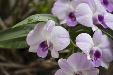Purple Orchids with selective focus technique