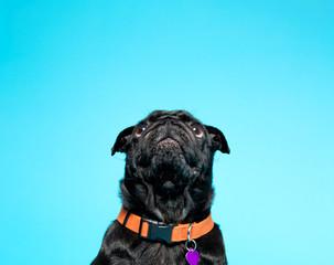 Black pug on a blue background