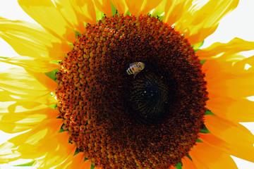 Biene besucht Sonnenblume