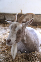 relaxing goat