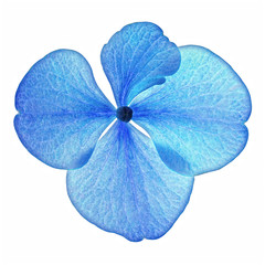 Single blue hydrangea flower in closeup isolated on a white background