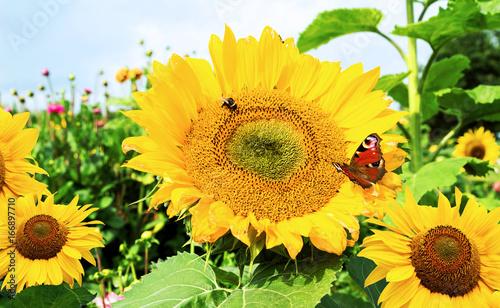 sonnenblumen mit schmetterling und hummel nahrung f r insekten stockfotos und lizenzfreie. Black Bedroom Furniture Sets. Home Design Ideas