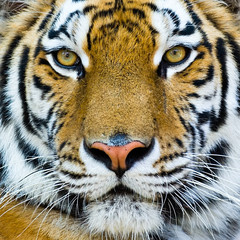 tiger face full frame