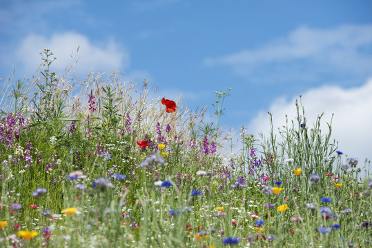 Beautiful vibrant landscape image of wildflower meadow in Summer