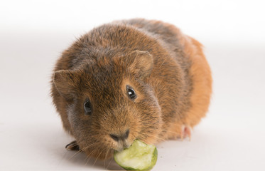 Guinea pig ( Cavy) eating cucumber on white background