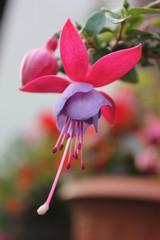 Blume Fuchsie