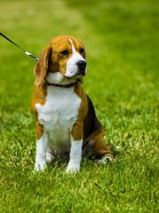 beagle dog on a green lawn. Dog beagle. Beagle dog