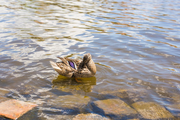 Birds and animals in wildlife. Funny mallard duck swims in lake or river with blue water.