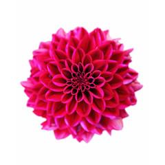 Foto op Plexiglas Dahlia Wunderschöne Sommerblume freigestellt
