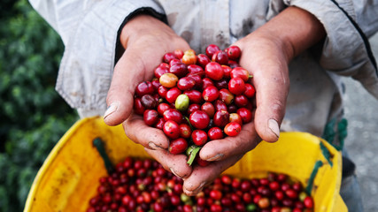 Agricultural hands showing harvested coffee berries