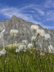 Cottongrass flowers (eriophorum angustifolium) with the west face of Valsoera peak in the background - Orco Valley, Piedmont, Italy.