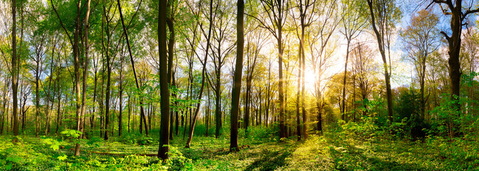 Wonderful forest panorama in spring with bright sun