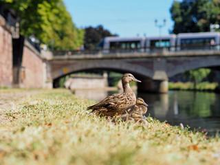 ducks in summer with bridge in background