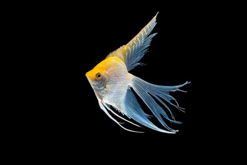 Angel fish isolated in black background