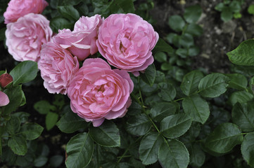 pink cabbage roses