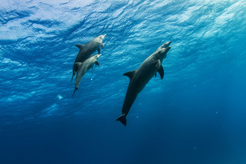 A dolphins family pod of four animals with baby dolphin that staying close with its mom  underwater. Blue water wildlife background of Red Sea
