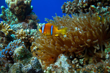 Anemone fish in coral reef of blue water of Red sea