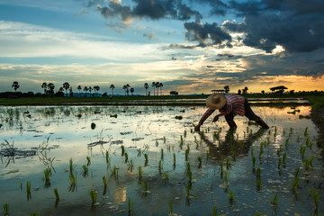 Farmer Thailand,farmers, The farmers are planting rice in a field at sunset