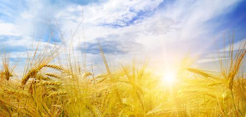wheat field and sun in blue sky