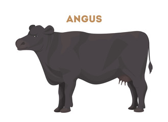 Isolated angus cow.