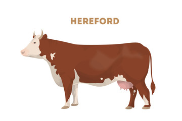 Isolated hereford cow.