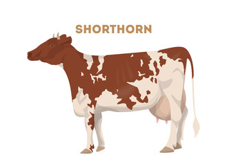 Isolated shorthorn cow.