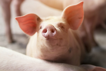 Small piglet waiting feed in the farm. Pig indoor on a farm yard in Thailand. swine in the stall. Close up eyes and blur. Portrait piggy.