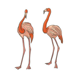 Vector colorful textured sketch drawn by hand of two pink longshanks flamingos on a white background. Bright exotic tropical bird. Isolated outline illustration.