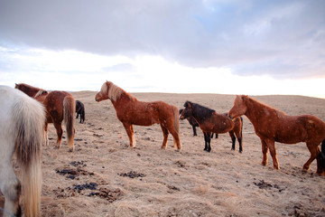 Beautiful icelandic horses, Iceland