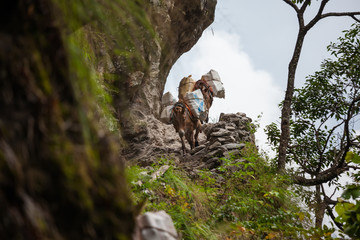 Donkeys carry goods along extremally dangerous paths in highlands of Nepal