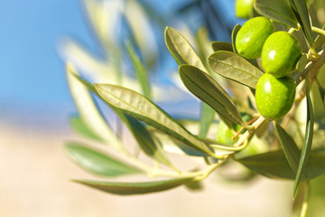 Green olives on olive tree - outdoors shot