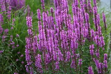 Bush of purple lavender.