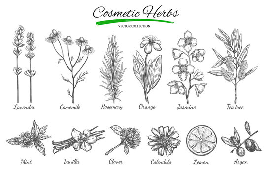 Natural cosmetics. Vector hand drawn.Isolated objects on white. Herbs and flowers. Herbal Medicine. Lavender. Camomile.Rosemary.Orange.Jasmine.Tea tree.Mint. Vanilla. Clover. Calendula. Lemon. Argan