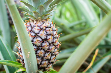 Pineapple tropical fruit growing in a plantation field