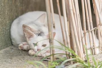 親子で眠るオッドアイの白猫の子猫