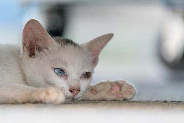 睡魔と戦うオッドアイの白い子猫